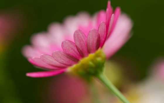изображение, desktop, closeup, gerberas, герберы, мб, flowers, flickr,