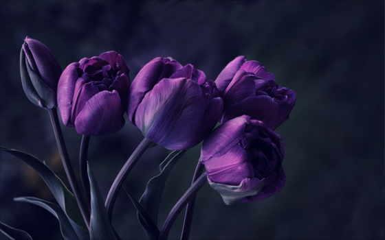 фиолетовые, цветы, тюльпаны,