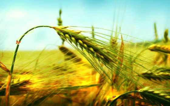 серьги, пшеница, rye,