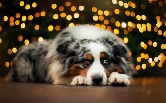 собака, bernese, глаза, гора, facebook