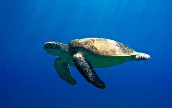 черепаха, море, египетский, зелёный