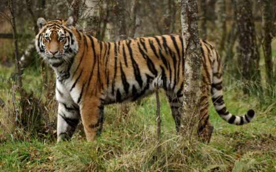 красивые, кошки, feline, животные, felina, тигры,