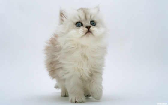 кот, белый, кота