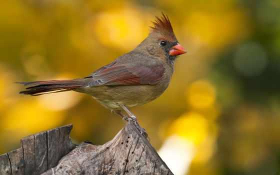 кардинал, птица, хохолок, makro, размытость, кардинал, пенек, northern,