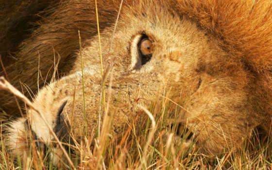 lion, смотреть, красивые