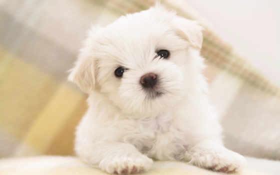 болонка, мальтийская, мальтезе, щенок, hairdog, zhivotnye, собаки,