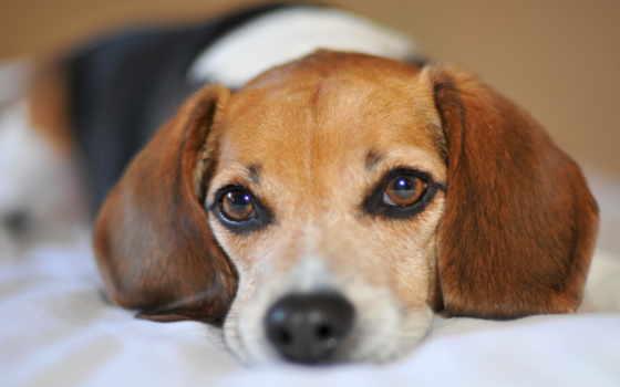 beagle, породы, собаки, собак, собака, грусть, траве, харьер, глазах, разных,