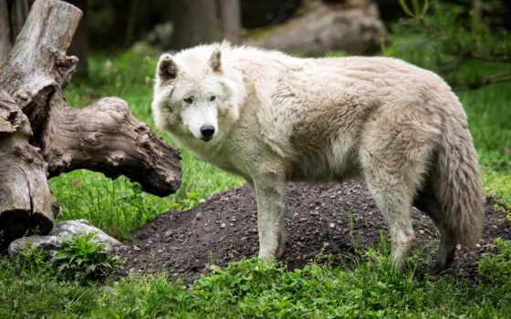 kurt, resimleri, zhivotnye, пушистики, pictures, забавные, white, милые, волк, picr,