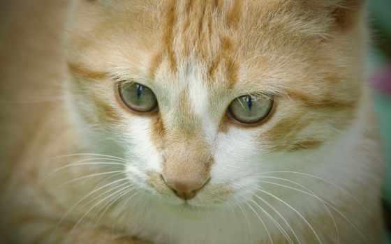 кот, картинка, мб, кошки, изображение, взгляд, zhivotnye, котята, шапки, фото, шляпа,