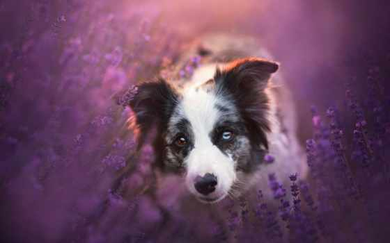 lavender, border, cvety, колли, собака, взгляд, морда, луг, стиль, поле, модель,