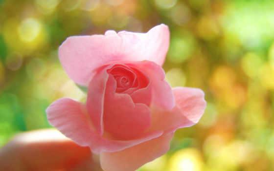 роза, розовая