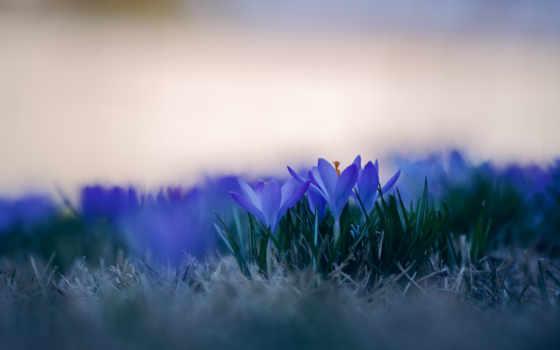 цветы, голубые