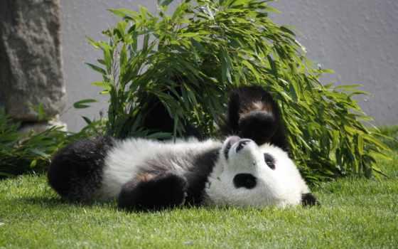 панда, медведь, browse