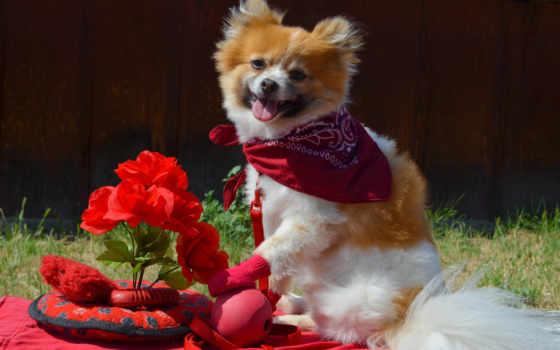 собака, шпиц, цветы, собаки, трава, browse, бандана, игрушки, zhivotnye,