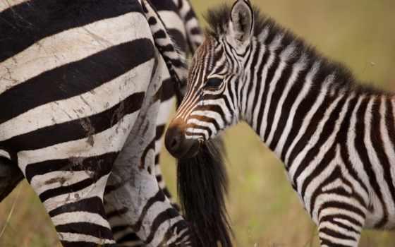 зебры, зооклубе, животных