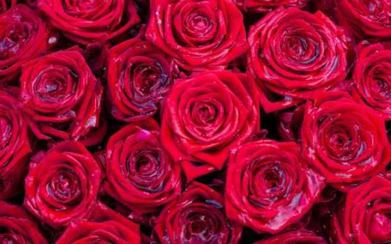 розы, цветы, текстура, many, вектор, red, графика, бутоны,