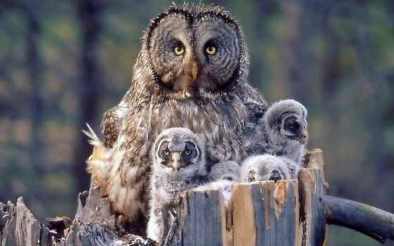 семья, zhivotnye, качественные, монитора, great, серый, сова, трава, зелёная, black, блики,