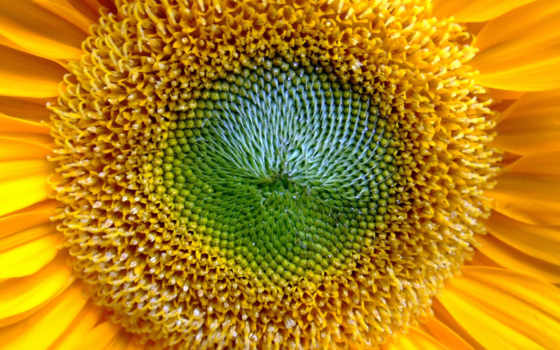 подсолнух, недозревший, цветы, пыльца, yellow, золотистый,