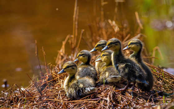 выводок, птенцы, материнство, лебеди, pasay,