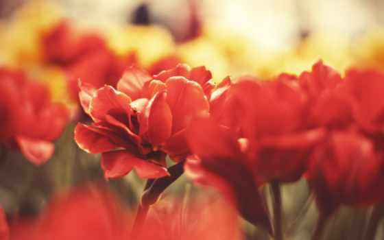 цветы, красные, макро