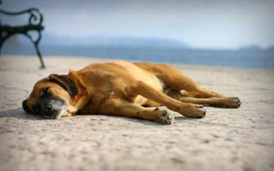 собака, спать, морда, пляж, capitalisst, песок, summer, портал, ложь, отдых,