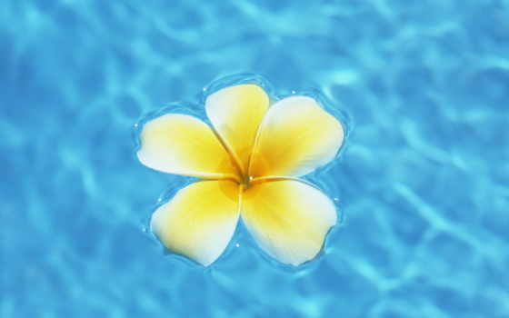 frangipani, flowers, цветы, hawaii, plumeria, pinterest, water, blue, об,