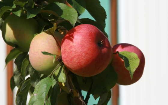 яблоки, яблоня, природа, garden, branch, еда, растение, фрукты,