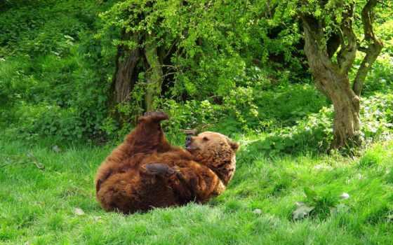 zhivotnye, прекрасные, animals, дикой, природе, фотообои, природа, природы, страница, медведь,