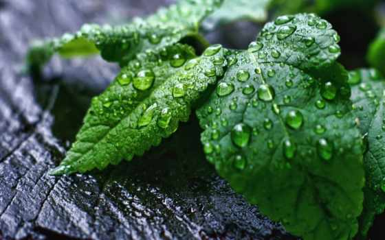капли, мята, мяты, дождя, зелёных, листочках, росы, капельки, поле, glacier,