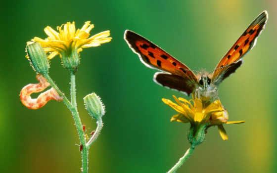 kupu, gambar, cantik, bunga, indah, yang, dan, hinggap,