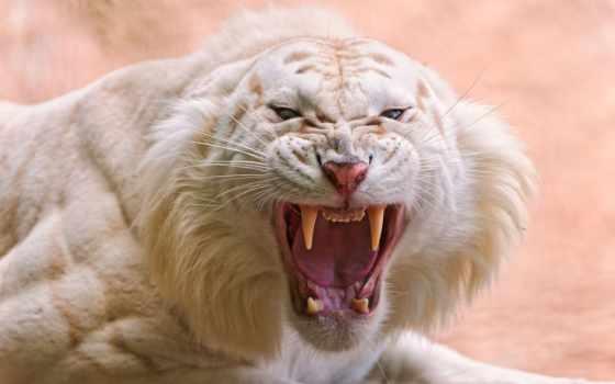 тигр, white, tigger