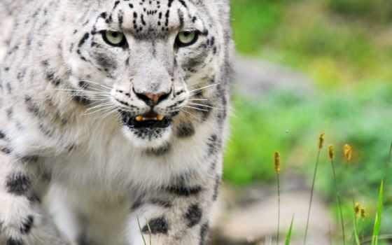 снег, леопард, кот