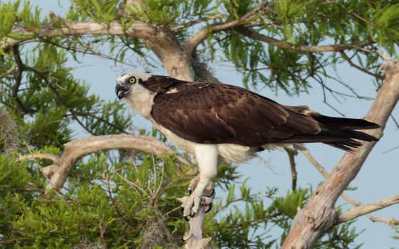 дерево, орлан, дереве, zhivotnye, птица, сайте, нашем, birds, записи,