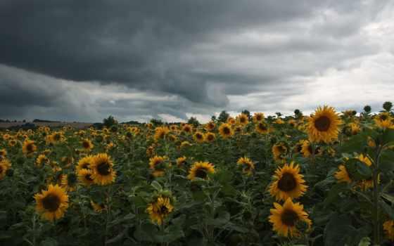 пасмурный, поле, подсолнухи, тучи, landscape,