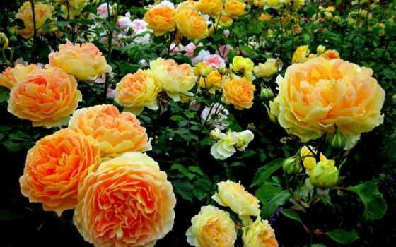 цветы, розы, широкоформатные