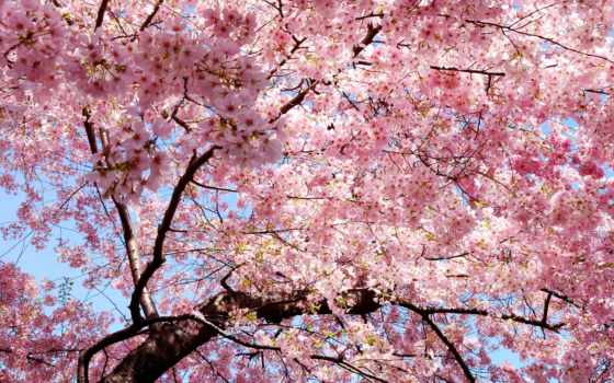 Сакура, весна, розовые, япония, лепестки, цветущая, ветви, cvety, japanese, eastern,