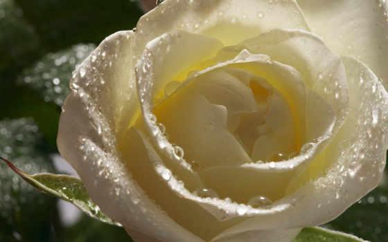 роза, белая, розы, капли, роса, лепестки, cvety, фотообои,