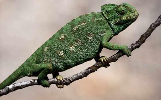 chameleon, zhivotnye, тату