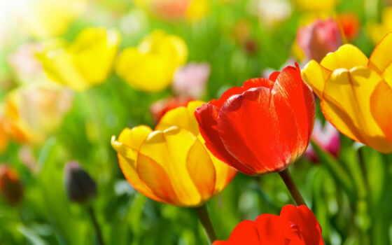 тюльпан, день, фотообои, birth, postcard, утро, род, стена, днем, доставка, москва