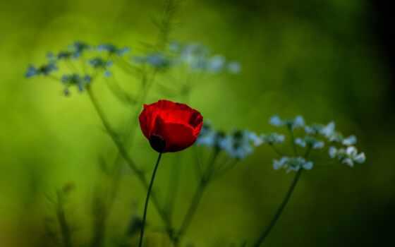poppy, цветы, природа, цвета, поляна, гора, палуба, добавить, оригинал