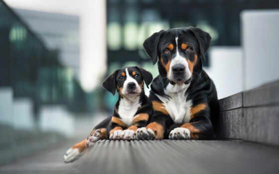 собака, гора, порода, samsing, entlebucher, tapety, щенок, galaxy