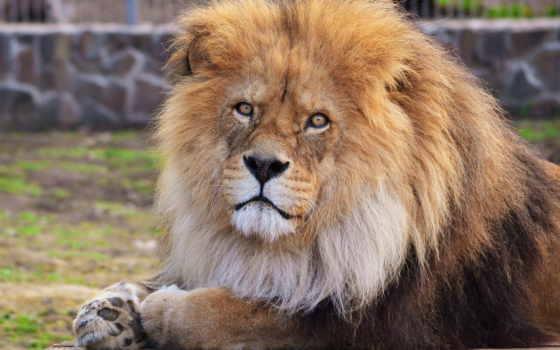 lion, морда, грива