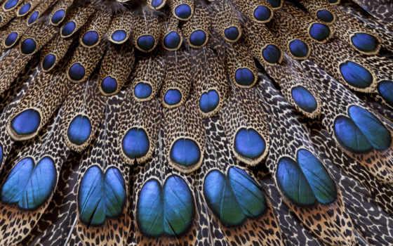 павлин, хвост, перья,