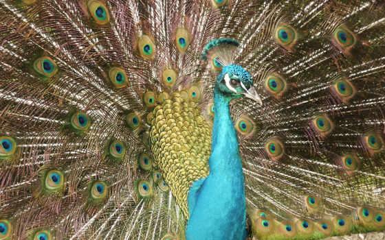 peacock, free, desktop