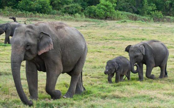sri, lanka, слон, слонята, zhivotnye, you,