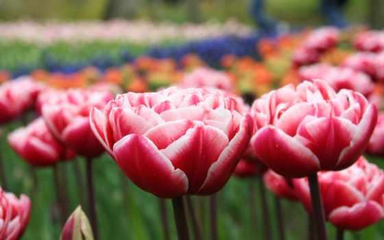тюльпаны, красные, розовые, cvety, весна, макро, бутоны, лепестки, алые,