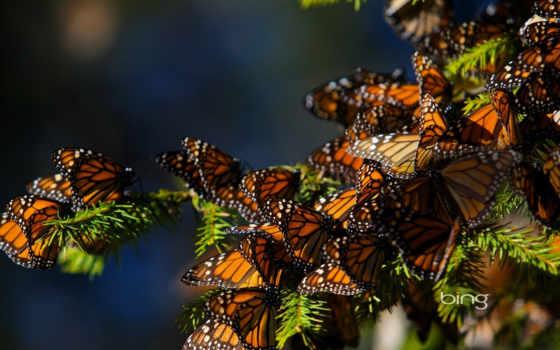 монарх, бабочка, migration, бабочки, butterflies, great, следы,