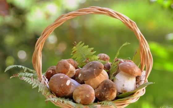 грибы, корзине, корзина, грибами, mushroom, грибов, боровики,