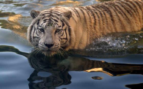 тигры, животные Фон № 19427 разрешение 1680x1050