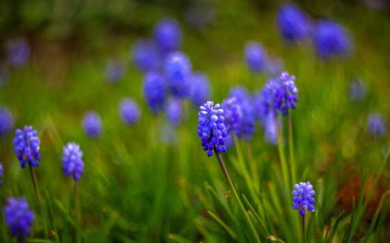 синие, цветы, макро
